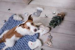 Hunden ligger på golvet Jack Russell Terrier på en filt arkivbilder