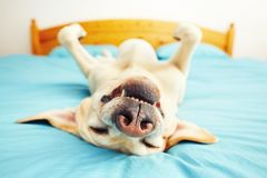 Hunden ligger på sängen Royaltyfria Bilder