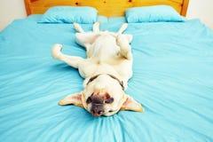 Hunden ligger på sängen Royaltyfri Fotografi