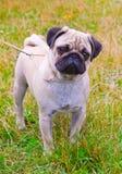Hunden lismar mopsaveln på grönt gräs i sommar Royaltyfri Fotografi