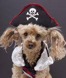 hunden little piratkopierar arkivbilder