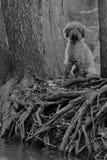 Hunden och rotar Arkivfoto