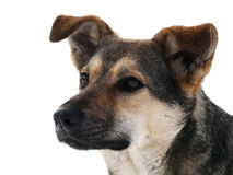 Hunden på snön Royaltyfria Bilder