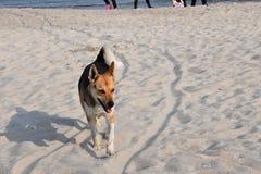 Hunden på stranden går nära havet arkivbilder