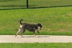 Hunden parkerar lek leder till den gulliga tungan som dinglar den dödströdda poochen Royaltyfri Fotografi