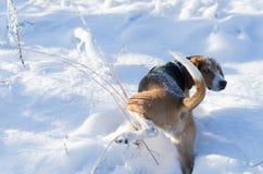 Hunden pissar på gräs och håller ögonen på tillbaka i vintertid royaltyfria foton