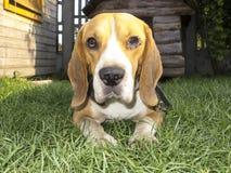 Hunden poserar för foto Arkivfoto