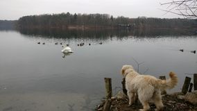 Hunden ser över havet Royaltyfri Foto