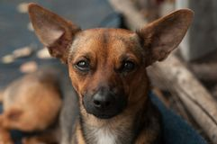 Hunden ser exakt i linsen med trogna ögon royaltyfri bild