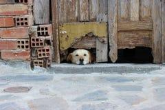 Hunden ser under dörr Arkivbilder