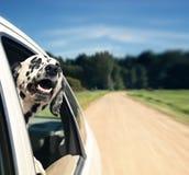 Hunden ser ut ur bilfönster arkivbild