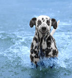 Hunden simmar och kör in i havet eller floden Royaltyfri Foto