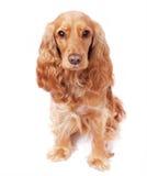 Hunden sitter i studion Royaltyfria Foton