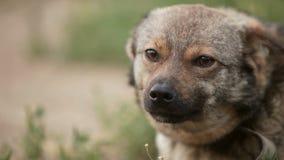 Hunden sitter på den chain mång- aveln på limbindningvågor hans svansblickar in i närbilden för kameragäspningståenden stock video