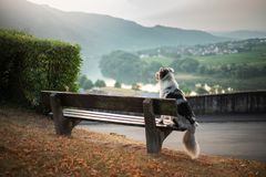 Hunden sitter på en bänk och blickar på gryningen Australisk herde för marmor i natur gå royaltyfria foton