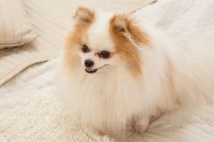 Hunden sitter på sängen Royaltyfria Foton