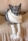 Hunden sitter på soffan Ljusa handskar på främre ben En ljus halsduk binds runt om halsen royaltyfri foto