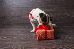 Hunden sniffar den festliga gåvaasken arkivbild
