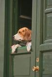 hunden snokar Arkivfoto