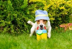 Hunden som den roliga trädgårdsmästaren som bär den Panama solhatten med att bevattna kan på trädgårdträdgårdgräsmatta fotografering för bildbyråer