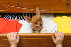 Hunden som dolde i bröstkorgen Royaltyfria Bilder