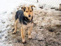 Hunden som kedjas fast av kedjan, är på smutsig snö Djur i capt royaltyfria bilder