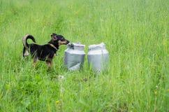 Hunden som luktar kan Arkivbilder