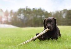 Hunden som ner ligger i gröna gras, sätter in att spela med en träpinne royaltyfria bilder