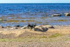 Hunden som omkring k?r n?ra havet, lyftte hans ben och markerade en av de stora stenarna, beskrev stenen, markerade det territori arkivfoto