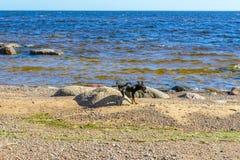 Hunden som omkring k?r n?ra havet, lyftte hans ben och markerade en av de stora stenarna, beskrev stenen som markerades arkivfoton