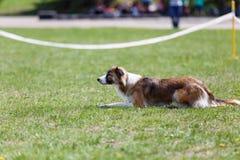 Hunden som väntar på, startar dess kurs i konkurrens för hundvighetsport arkivfoto