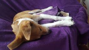 Hunden sovar royaltyfria bilder