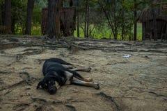 Hunden sover i skogen Fotografering för Bildbyråer