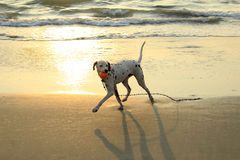 Hunden spelar med en boll på stranden arkivbild