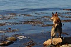 Hunden står på stenen och ser havet och alger arkivfoton
