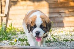 Hunden St Bernard önskar att dricka, att sponta klibbat ut arkivbilder