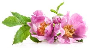 Hunden steg blommor (för den Rosa caninaen) Royaltyfri Bild