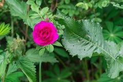 Hunden steg blomningar (den Rosa caninaen) Royaltyfri Fotografi