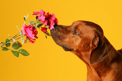 hunden steg sniffa Royaltyfri Bild