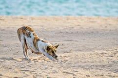 Hunden sträcker sig på stranden royaltyfria foton