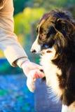 Hunden tafsar och den mänskliga handen som gör en utomhus- handskakning Royaltyfri Fotografi