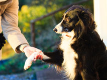 Hunden tafsar och den mänskliga handen som gör en utomhus- handskakning Royaltyfria Foton