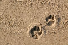 Hunden tafsar tryck på sand fotografering för bildbyråer