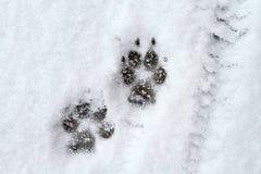 Hunden tafsar trycket i snö Royaltyfri Fotografi