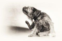 Hunden terriern, skrapan som skrapar, tafsar, svärtar, vit, kopieringsutrymme Arkivbild