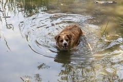 Hunden tycker om det kalla vattnet av sjön på en varm sommardag royaltyfri bild