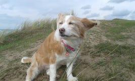 Hunden tycker om havsbrisen Fotografering för Bildbyråer