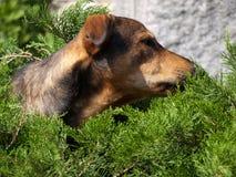 Hunden tystar ned att kika ut ur en grön buske royaltyfria bilder