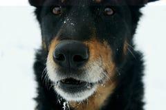Hunden tystar ned i vinter Royaltyfria Bilder