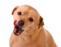 hunden ut tongue Arkivfoto